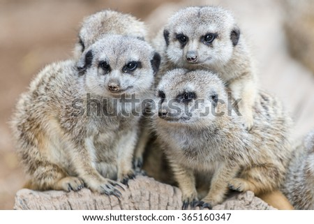 The family of South African meerkats  (Suricate) - stock photo