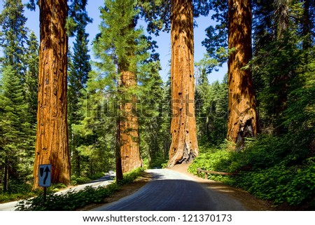 the famous big sequoia trees are standing in Sequoia National Park - stock photo