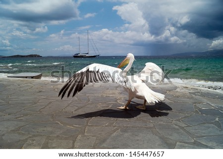 The famous Pelican of Mykonos island in Greece - stock photo