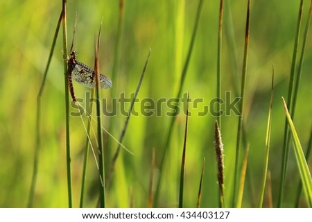 The famous Western Brown Drake hatch on Silver Creek, Idaho - stock photo