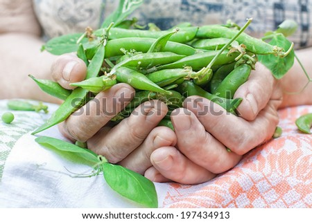 The farmer keeps the ripe green peas in hands - stock photo