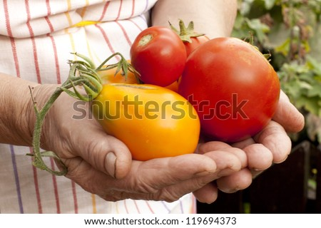 The farmer keeps the ripe red and yellow tomatoes in hands - stock photo
