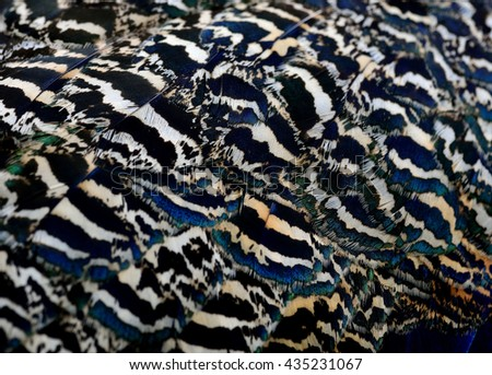 The fascinated camouflage brown and blue texture on Indian Peacock body feathers, the most beautiful bird feathers background - stock photo