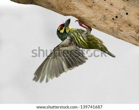 The feeding of Coppersmith Barbet, Crimson-breasted Barbet/Coppersmith (Megalaima haemacephala), is a bird with crimson forehead and throat. - stock photo