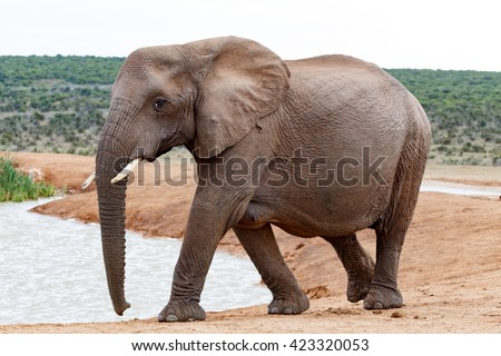 The Female African bush elephant is the larger of the two species of African elephant. Both it and the African forest elephant have in the past been classified as a single species. - stock photo