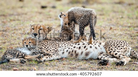 The female cheetah with cubs. The family of cheetah (Acinonyx jubatus)  against a yellow grass - stock photo