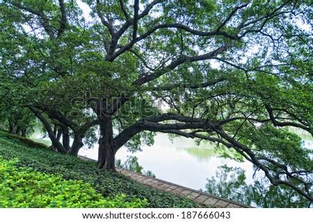 The few large banyan tree - stock photo