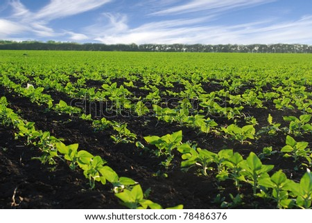 The field  before the harvest - stock photo