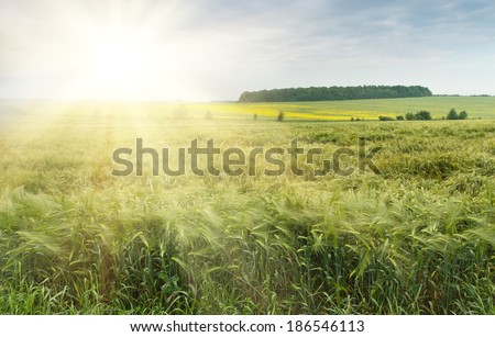 The field of green ears of barley at spring time - stock photo