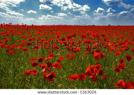 The field of poppies - stock photo