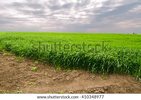 The field of young wheat. Green grass and farmland . - stock photo