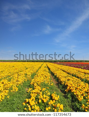 The fields with yellow flowers Ranunculus. Flowers are grown for export. The spring. - stock photo