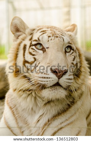The Fierce and Majestic White Bengal Tiger - stock photo