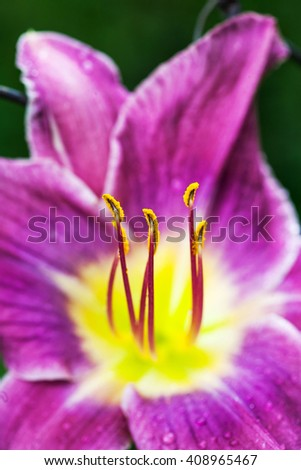 The fiery core of the beautiful purple lily. Close up - stock photo