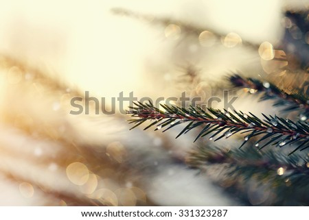 The fir-tree branches sparkling on the sun in ice droplets. - stock photo