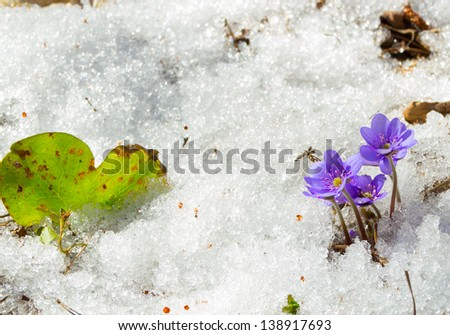The first spring flowers in the melting snow - stock photo