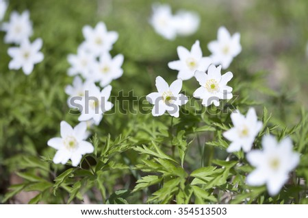 The first spring flowers - white snowdrops - stock photo