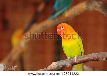 The Fischer's Lovebird (Agapornis fischeri) in cage - stock photo
