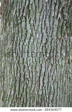 The fissured bark of a White Ash (Fraxinus americana)  tree.  The bark has lichen growing on it providing a green highlight. - stock photo