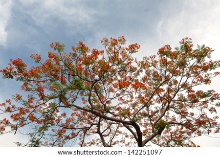 The Flame Tree or Royal Poinciana with red flower on blue sky - stock photo