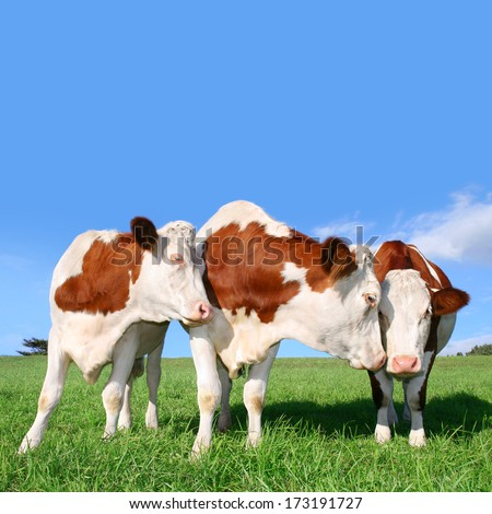 The flirt cows. You can enlarge and scale up the blue field. - stock photo