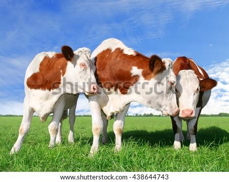The flirting cows - stock photo