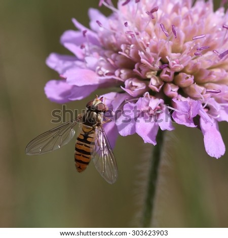 The Flower fly (Hoverfly,Syrphidae) drinking from the flower. - stock photo