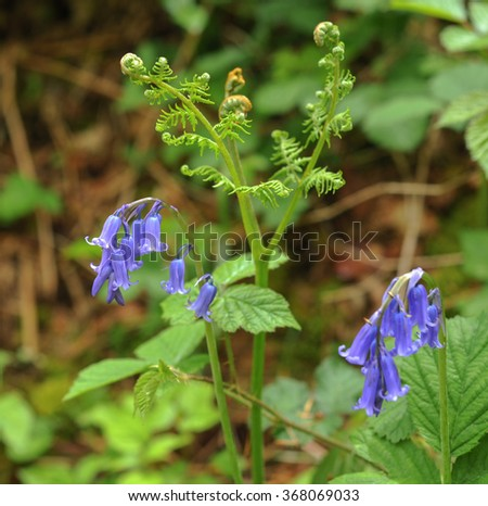The Flower Head of a Bluebell (hyacinthoides non-scripts) and the Young Fronds of Bracken in Ancient Woodland within Dartmoor National Park, Devon, England, UK - stock photo