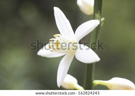 The flower of a mandarin orange - stock photo
