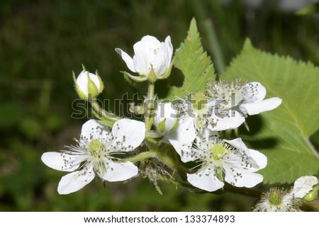 The flowers of a strawberry photographed close up - stock photo