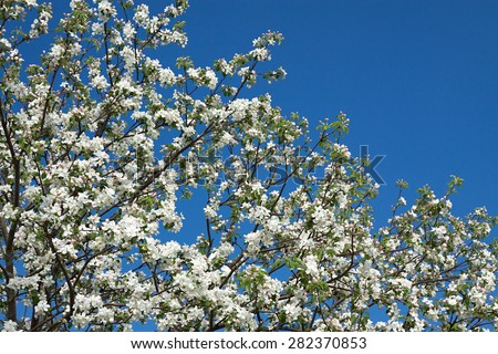 the flowers of an apple-tree blossom in the spring - stock photo
