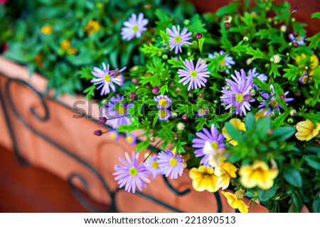 The flowers of felicia and petunia in pot on balcony - stock photo
