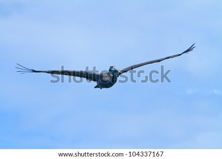 The Flying Pelican - stock photo
