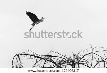The flying pelican in Naivasha lake of Kenya. - stock photo