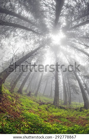 The forest at sunrise in the Carpathian mountains - high trunks haze gives a beautiful fairy-tale effect. Ukraine is rich in forest resources in the Carpathians legendary good ecology - stock photo