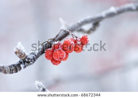 The frozen mountain ash on a branch - stock photo