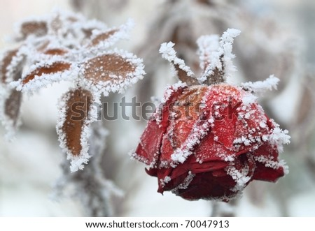 The frozen rose - stock photo
