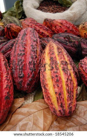 The fruit, called a cacao pod, contains 20 to 60 seeds or beans, embedded in a white pulp. Each seed contains a significant amount of fat. Their most noted active constituent is theobromine. - stock photo
