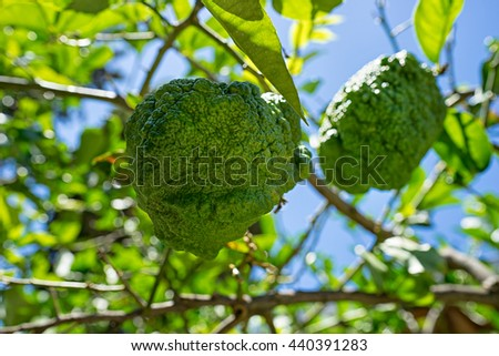 The fruit of the bergamot on the tree - stock photo