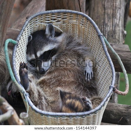 The funny portrait of a sleeping raccoon in the basket. Curious pose of a washing bear. Cute and cuddly animal, which can be very dangerous beast. - stock photo