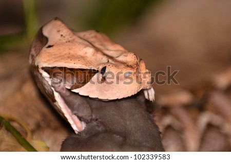 The gaboon viper (Bitis Gabonica) otherwise known as the butterfly adder or forest puff adder, from sub-saharan africa, the largest member of the viper family with the most venom eating a rat - stock photo