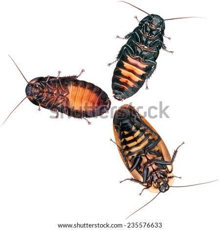 The gang of Cockroaches in white - stock photo