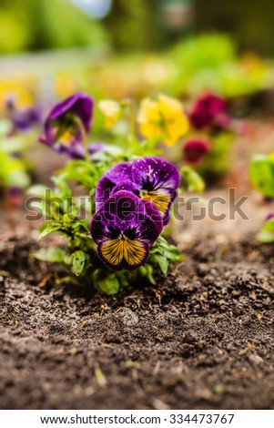 The garden pansy is a type of large-flowered hybrid plant cultivated as a garden flower. - stock photo