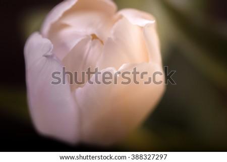 The gentle pink tulip lit with a sun beam. Midget depth of sharpness, soft focus, close up, dark background. - stock photo