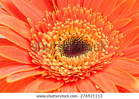 The gerbera flower, macro - stock photo