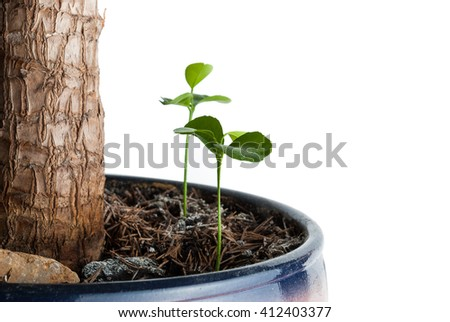 The germ of a lemon compared with a large plant in a flowerpot. Close up. - stock photo