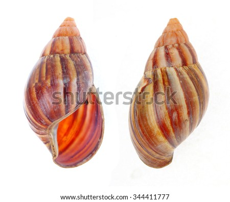 The Giant African Snail ( Achatina achatina) isolated on white background. - stock photo