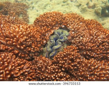 The giant clam and soft corals at Maiton island Phuket,Thailand. - stock photo