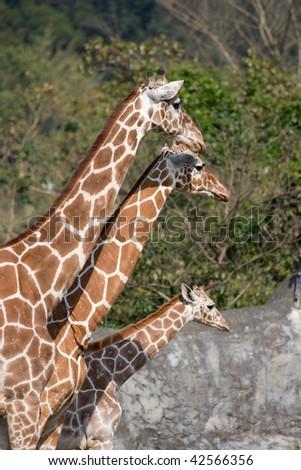The Giraffe family - stock photo