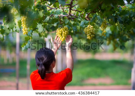 The girl  Harvesting Grapes in the Vineyard - stock photo
